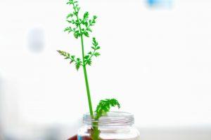 水栽培、野菜の葉